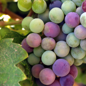 What is Organic Wine All About?