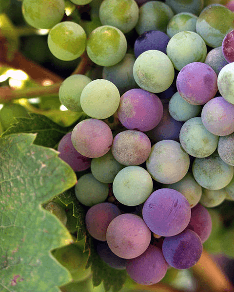 wikimedia commons grapes-resized-600