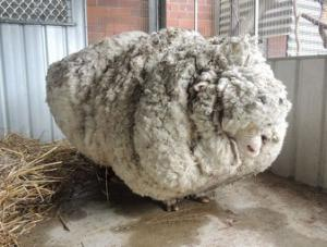 Heater Not Working? You Can Buy The Worlds Wolliest Sheep or Call Cold Craft.